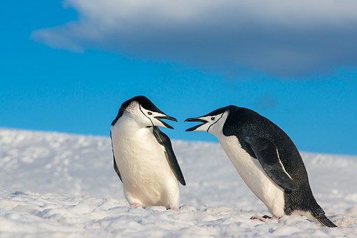 BRD 05 KH0387 01 © Kimball Stock Chinstrap Penguins In Snow In Antarctica