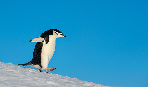 BRD 05 KH0388 01 © Kimball Stock Chinstrap Penguin Walking In Snow In Antarctica