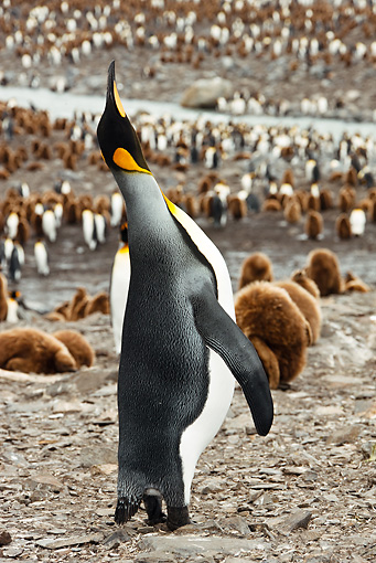 BRD 05 MC0003 01 © Kimball Stock King Penguin Trumpeting And Skypointing At Colony South Georgia Island