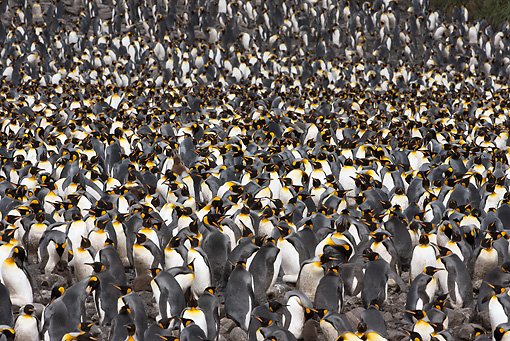 BRD 05 MC0011 01 © Kimball Stock Colony Of King Penguins Socializing On Faulkland Islands