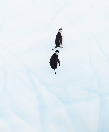 BRD 05 MC0015 01 © Kimball Stock Chinstrap Penguins Standing On Iceberg In South Orkney Island, Antarctic Peninsula