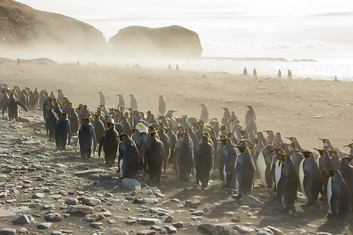 BRD 05 MC0020 01 © Kimball Stock King Penguin Colony On Beach In St. Andrews Bay, South Georgia Island