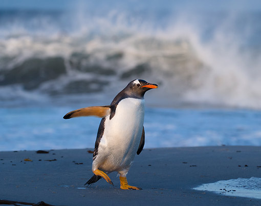 BRD 05 MC0022 01 © Kimball Stock Gentoo Penguin Waddling On Beach, Sea Lion Island, Falkland Islands