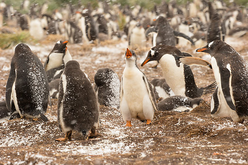 BRD 05 MC0024 01 © Kimball Stock Gentoo Penguins In Snowstorm During Nesting Season, Sea Lion Island, Falkland Island