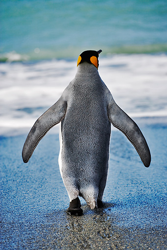 BRD 05 MH0001 01 © Kimball Stock Rear View Of King Penguin Waddling On Beach South Georgia Island
