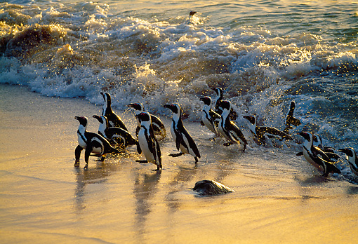 BRD 05 MH0009 01 © Kimball Stock Group Of African Penguins (aka Black-Footed Penguins) Walking On Beach At Dusk