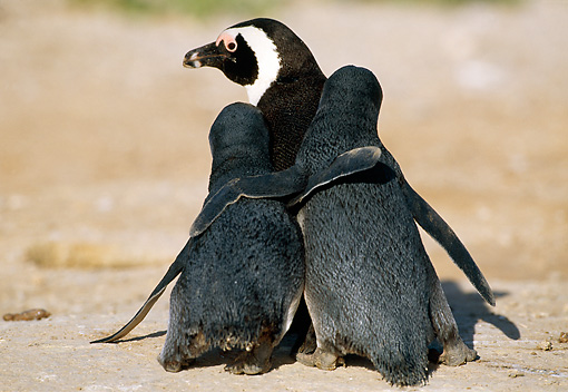 BRD 05 MH0011 01 © Kimball Stock Back View Of African Penguin Adult And Chicks With Arms Around Each Other On Beach
