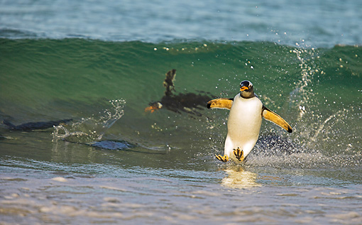 BRD 05 WF0001 01 © Kimball Stock Gentoo Penguin Surfing On Wave Into Beach