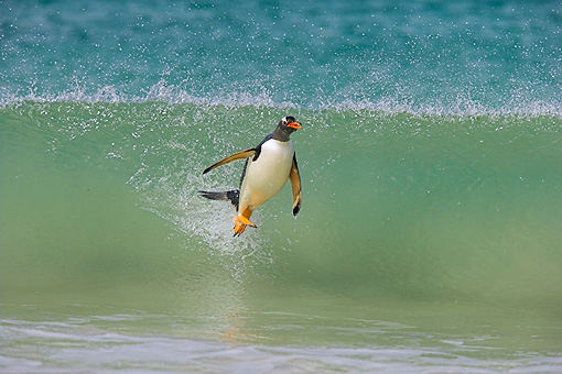 BRD 05 WF0002 01 © Kimball Stock Gentoo Penguin Surfing On Wave Into Beach