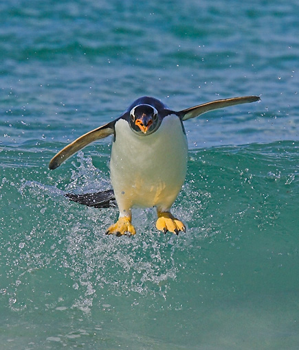 BRD 05 WF0003 01 © Kimball Stock Gentoo Penguin Surfing On Wave Into Beach