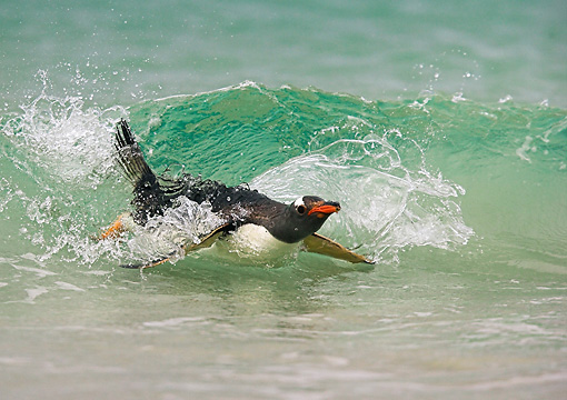 BRD 05 WF0004 01 © Kimball Stock Gentoo Penguin Surfing On Wave Into Beach