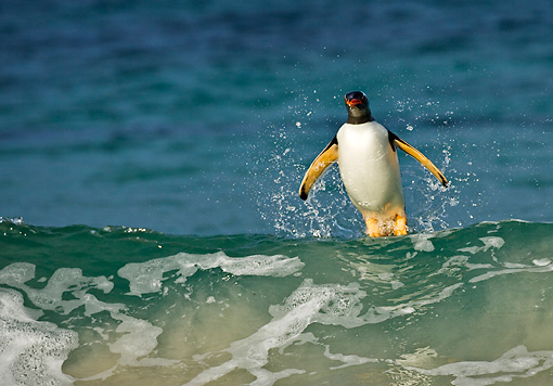 BRD 05 WF0005 01 © Kimball Stock Gentoo Penguin Surfing On Wave Into Beach
