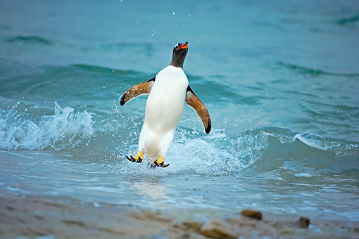 BRD 05 WF0006 01 © Kimball Stock Gentoo Penguin Surfing On Wave Into Beach