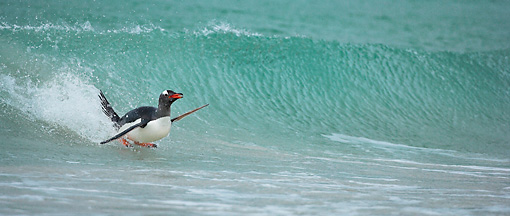 BRD 05 WF0007 01 © Kimball Stock Gentoo Penguin Surfing On Wave Into Beach