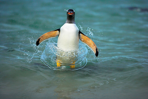 BRD 05 WF0009 01 © Kimball Stock Gentoo Penguin Surfing On Wave Into Beach