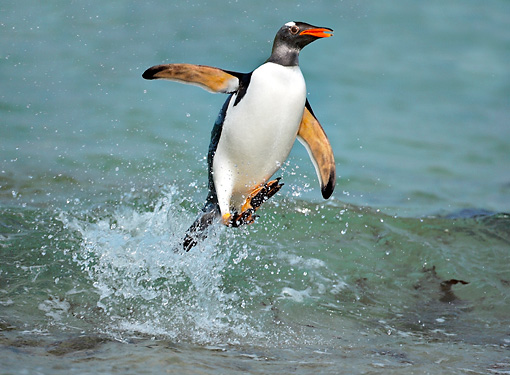 BRD 05 WF0010 01 © Kimball Stock Gentoo Penguin Surfing On Wave Into Beach