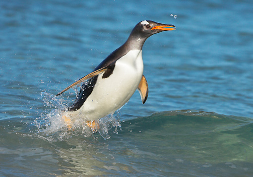 BRD 05 WF0011 01 © Kimball Stock Gentoo Penguin Surfing On Wave Into Beach