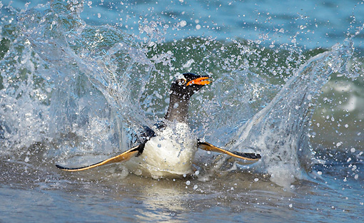 BRD 05 WF0013 01 © Kimball Stock Gentoo Penguin Surfing On Wave Into Beach