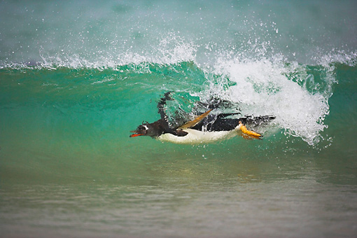 BRD 05 WF0014 01 © Kimball Stock Gentoo Penguin Surfing On Wave Into Beach