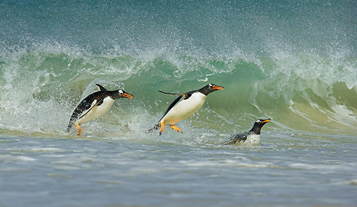 BRD 05 WF0015 01 © Kimball Stock Gentoo Penguins Surfing On Wave Into Beach