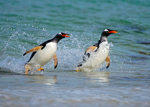 BRD 05 WF0016 01 © Kimball Stock Gentoo Penguins Surfing On Wave Into Beach