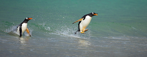 BRD 05 WF0017 01 © Kimball Stock Gentoo Penguins Surfing On Wave Into Beach