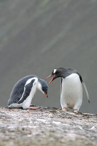 BRD 05 WF0018 01 © Kimball Stock Gentoo Penguin Adult And Chick Standing On Rock