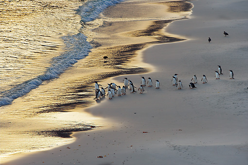 BRD 05 WF0022 01 © Kimball Stock Flock Of Gentoo Penguins Standing On Beach At Sunrise