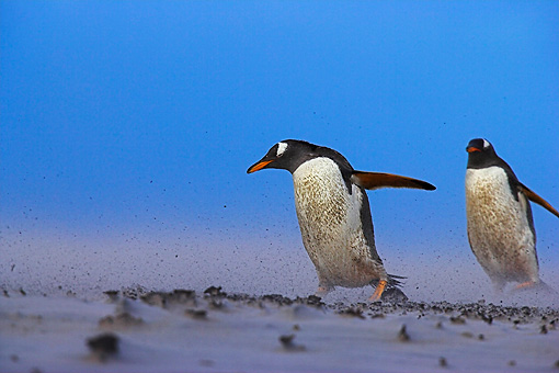 BRD 05 WF0023 01 © Kimball Stock Gentoo Penguins Walking Through Sand Storm