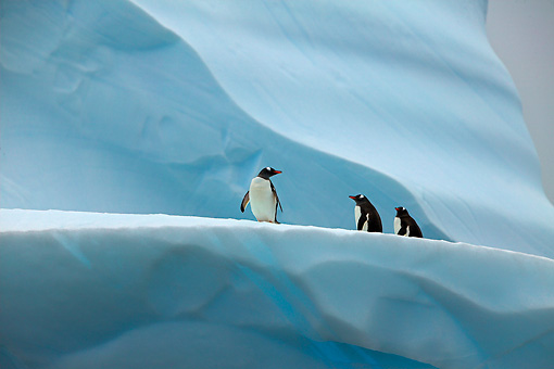 BRD 05 WF0024 01 © Kimball Stock Gentoo Penguins Standing On Blue Iceberg