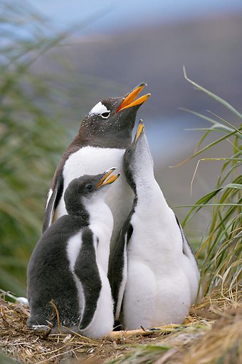 BRD 05 WF0027 01 © Kimball Stock Portrait Of Gentoo Penguin Adult With Two Chicks On Nest