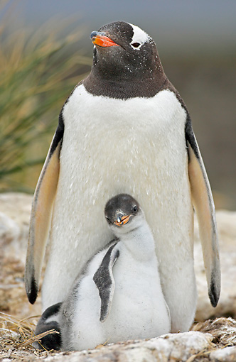 BRD 05 WF0029 01 © Kimball Stock Portrait Of Gentoo Penguin Adult With Chick On Nest