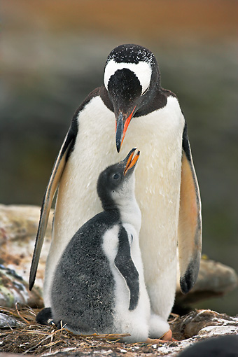 BRD 05 WF0030 01 © Kimball Stock Portrait Of Gentoo Penguin Adult With Chick On Nest