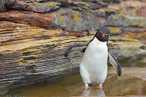 BRD 05 WF0033 01 © Kimball Stock Rockhopper Penguin Standing In Rock Pool