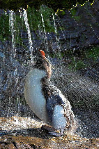 BRD 05 WF0035 01 © Kimball Stock Rockhopper Penguin Having Freshwater Shower