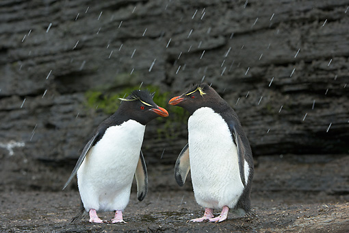 BRD 05 WF0036 01 © Kimball Stock Rockhopper Penguins Standing On Mud With Falling Snow