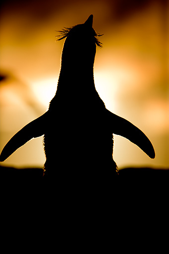 BRD 05 WF0038 01 © Kimball Stock Silhouette Of Rockhopper Penguin Stretching At Sunset