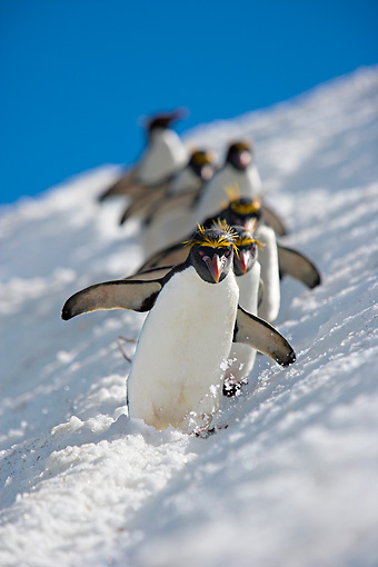 BRD 05 WF0042 01 © Kimball Stock Group Of Macaroni Penguins Skiing Across Glacier