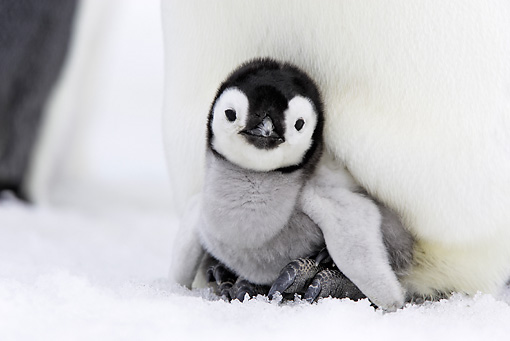 BRD 05 WF0046 01 © Kimball Stock Emperor Penguin Chick Sitting On Feet Of Adult