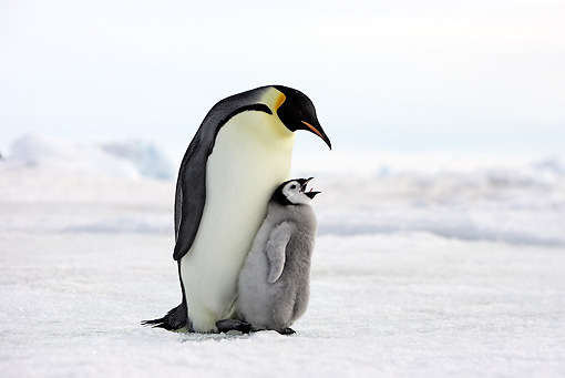 BRD 05 WF0048 01 © Kimball Stock Emperor Penguin Adult With Begging Chick On Ice