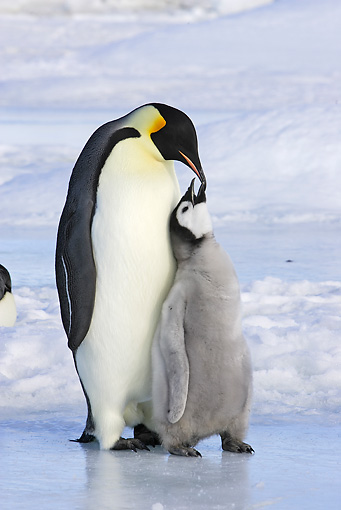 BRD 05 WF0050 01 © Kimball Stock Emperor Penguin Adult With Begging Chick On Ice