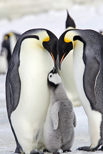BRD 05 WF0053 01 © Kimball Stock Emperor Penguin Parents With Begging Chick