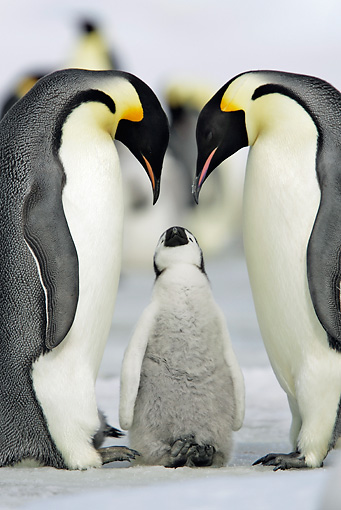 BRD 05 WF0054 01 © Kimball Stock Emperor Penguin Parents With Begging Chick
