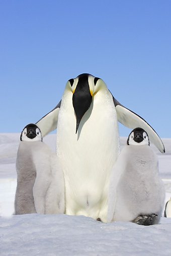 BRD 05 WF0055 01 © Kimball Stock Emperor Penguin Adult With Two Chicks On Ice