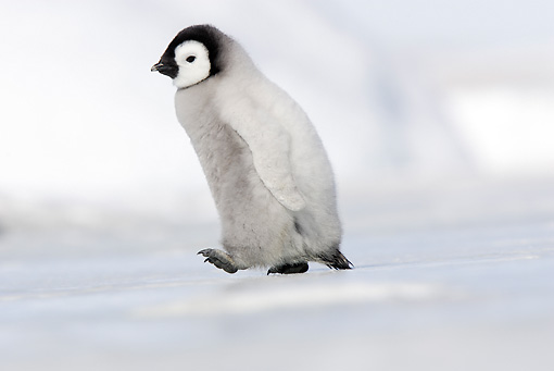 BRD 05 WF0056 01 © Kimball Stock Emperor Penguin Chick Walking On Ice