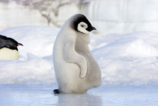 BRD 05 WF0058 01 © Kimball Stock Emperor Penguin Chick Dozing On Ice