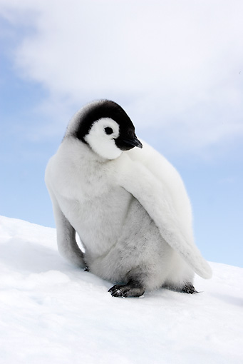 BRD 05 WF0059 01 © Kimball Stock Emperor Penguin Chick Standing On Snow