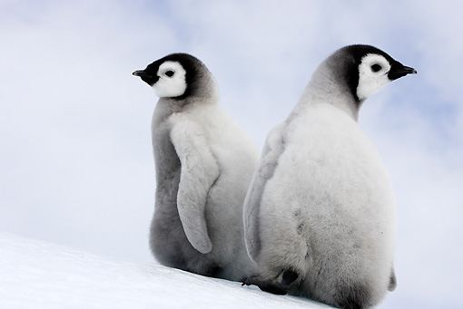 BRD 05 WF0060 01 © Kimball Stock Two Emperor Penguin Chicks Sitting On Ice