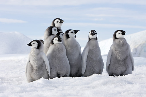 BRD 05 WF0061 01 © Kimball Stock Group Of Emperor Penguin Chicks Sitting On Ice