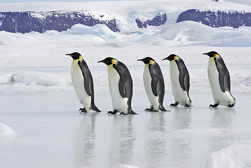 BRD 05 WF0062 01 © Kimball Stock Group Of Emperor Penguins Walking In Line Across Ice